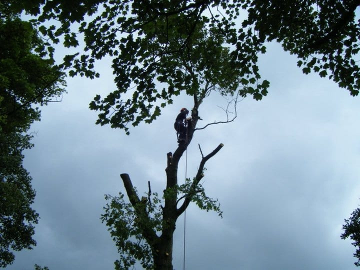 Tree Surgeon Cutting down an ash Tree in scissett, Huddersfield
