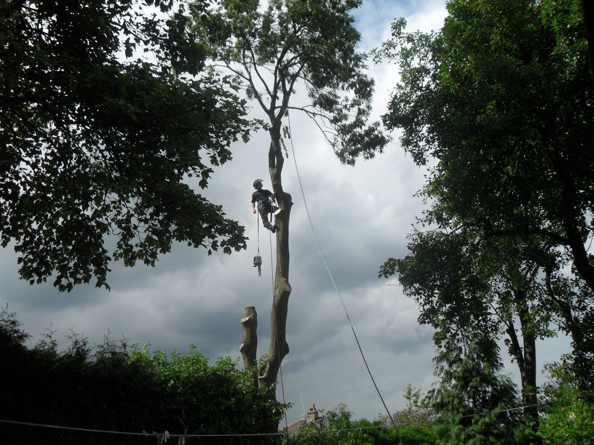 Ash Tree being cut down by one of D W Tree Services tree surgeons