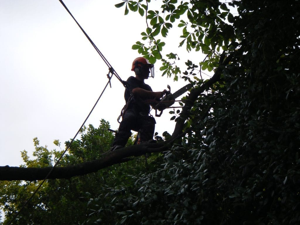 Tree surgeon branch walking to cut the end off a branch