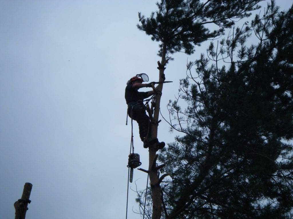 Tree surgeon Cutting the top off a tree